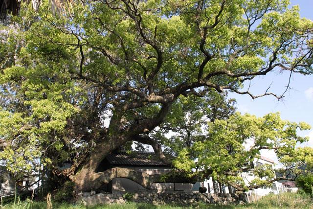 神母ノ木の大楠