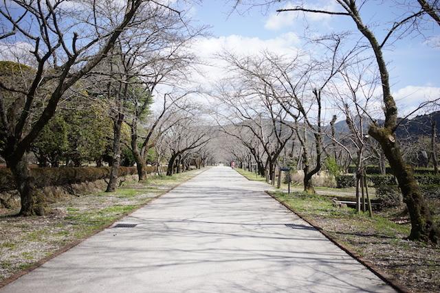 桜のアーチ開花前