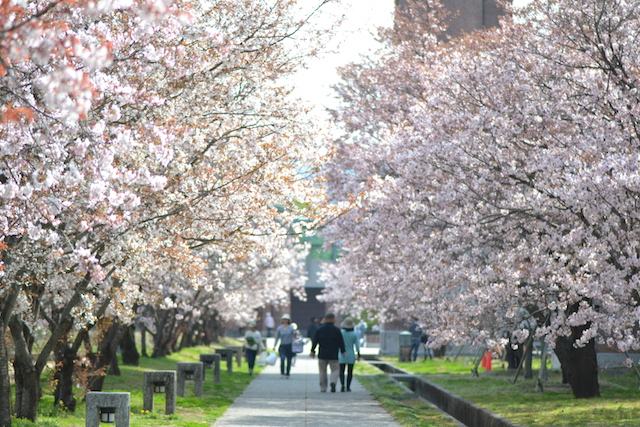 高知工科大学の桜