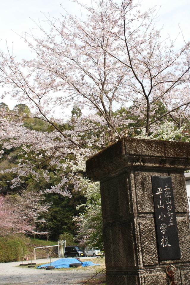 平山の桜1