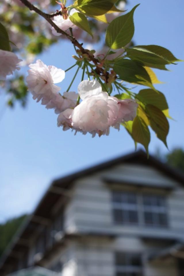 平山の桜10