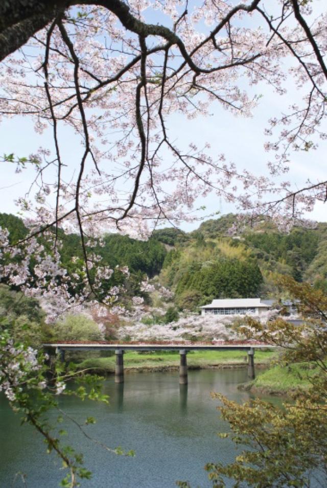 平山の桜11