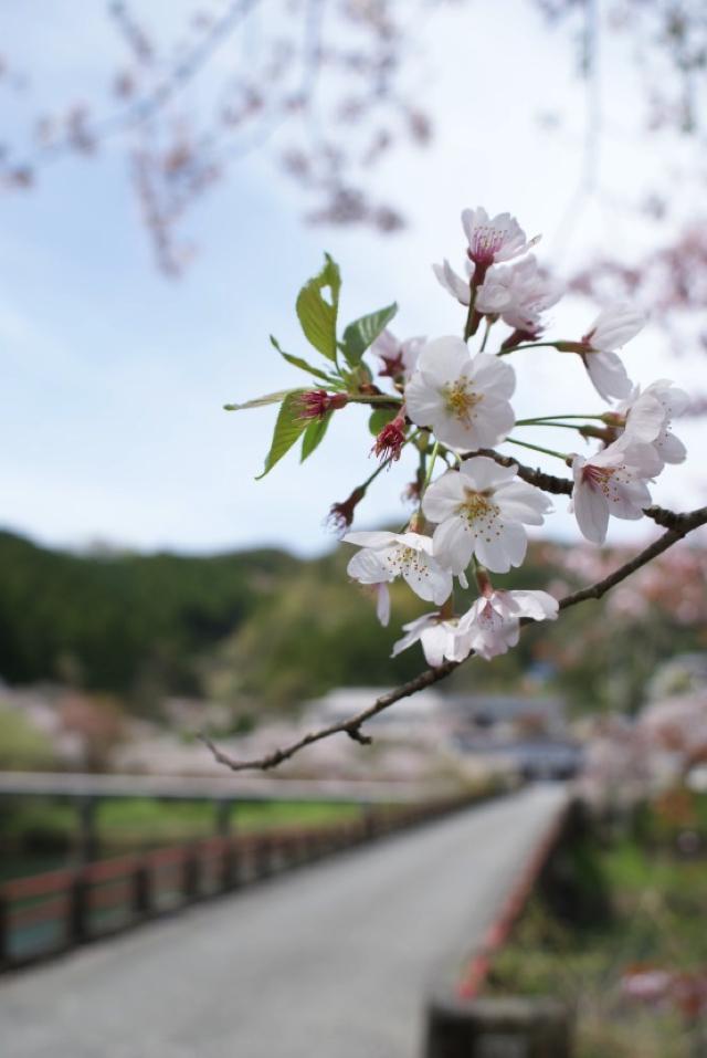 平山の桜13