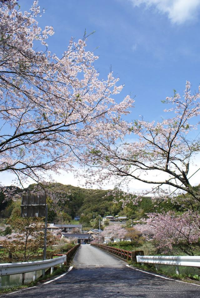 平山の桜3