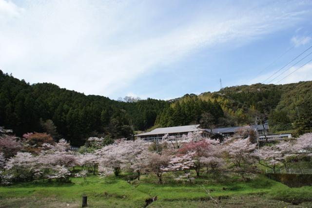 平山の桜4
