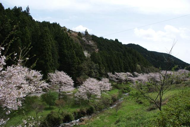 平山の桜5