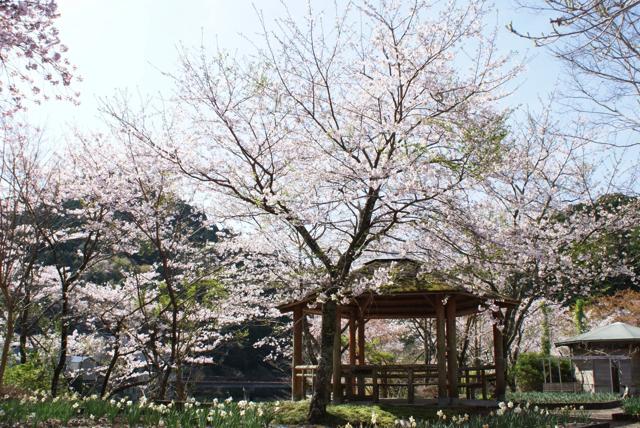 平山の桜6
