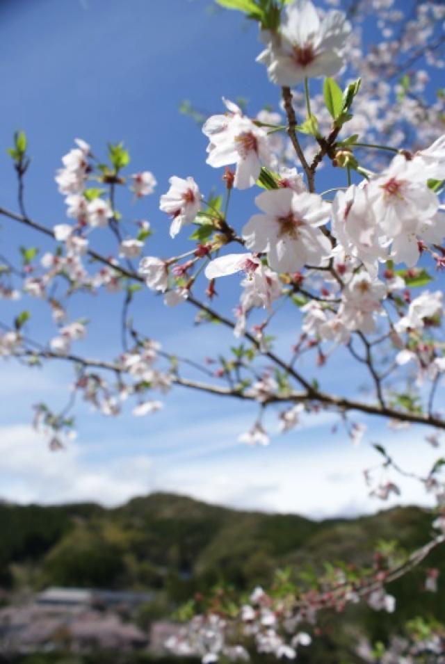 平山の桜9