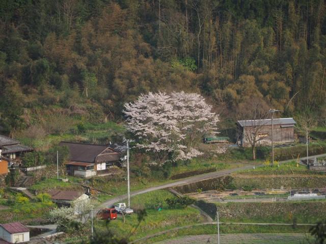 対岸_桜02