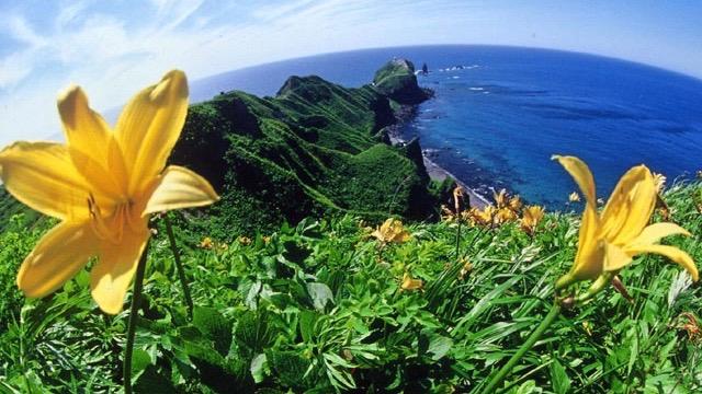 エゾカンゾウの咲く神威岬