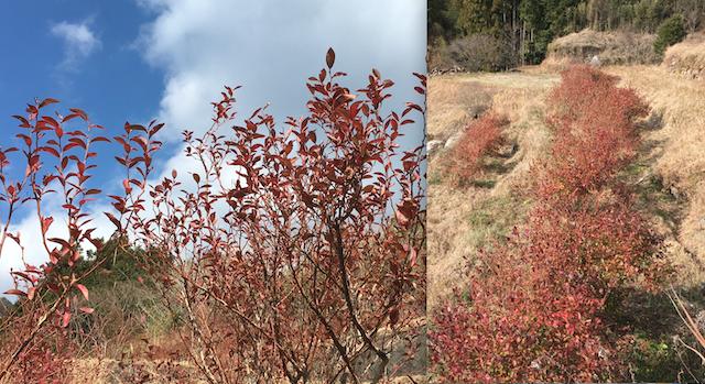 ブルーベリーの紅葉(谷相近辺の畑/2021年1月初旬撮影)