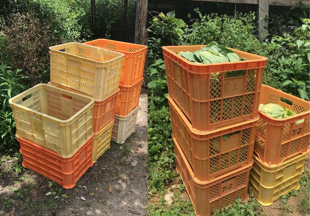 「キセツノオヤサイ葉屋」さん栽培のグリーンボール外葉が入ったコンテナ(右)。すでに空になったコンテナ(左)。葉屋さんの拠点は香北町永野、鶏小屋の近くにある。