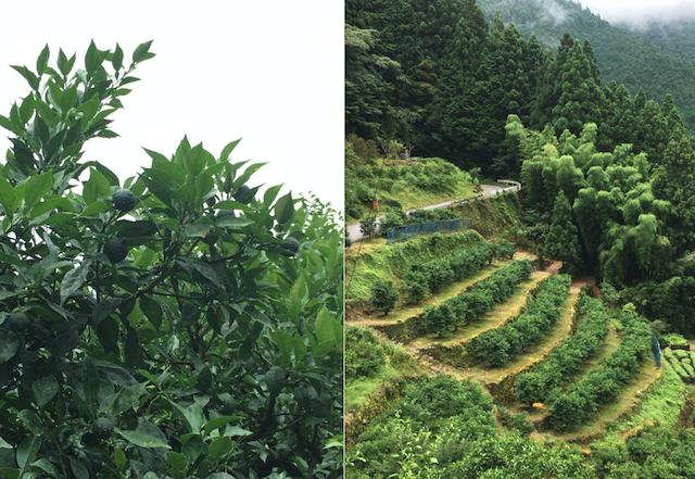 -仙頭集落の圃場ー 80代のご夫妻が長年作ってこられた柚子園を借り受ける形で、柚子の木約650本をを受け継いだ(2021年7月取材)
