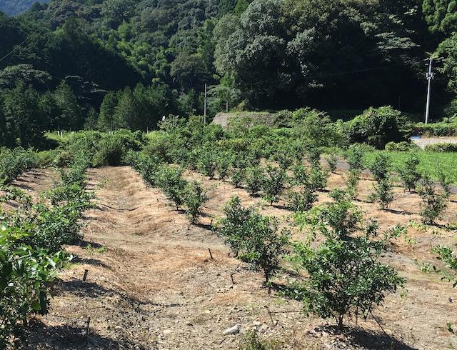 −西川圃場の柚子− 約500本。実がつく木に育てるために、摘果しながら成長を見守る