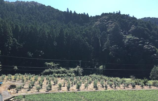 −西川圃場− 数枚の田畑を造成して、わずかに斜傾し水はけを良くした果樹園に整えられている(2021年8月取材)